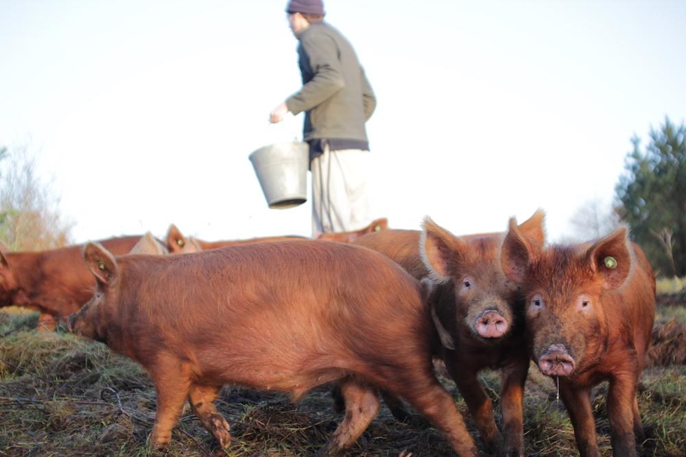 Tamworth Pigs Rearing Butchering Eating The Fumbally